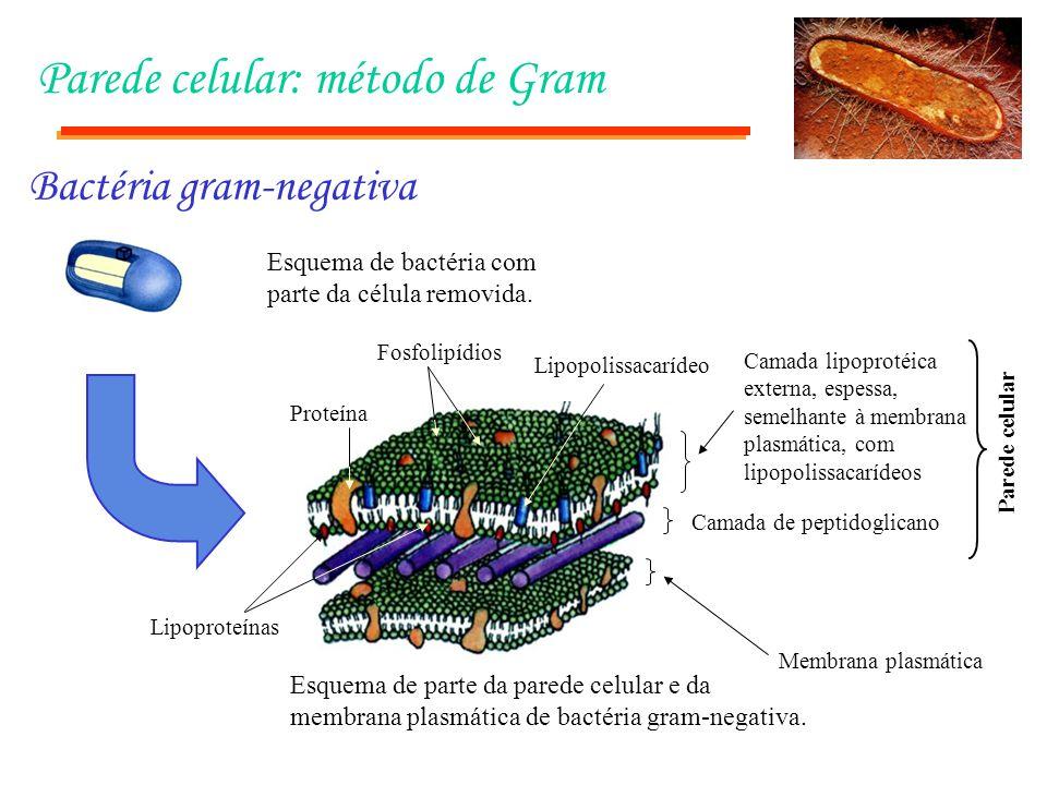 Parede celular: método de Gram Esquema de bactéria com parte da célula removida. Esquema de parte da parede celular e da membrana plasmática de bactér