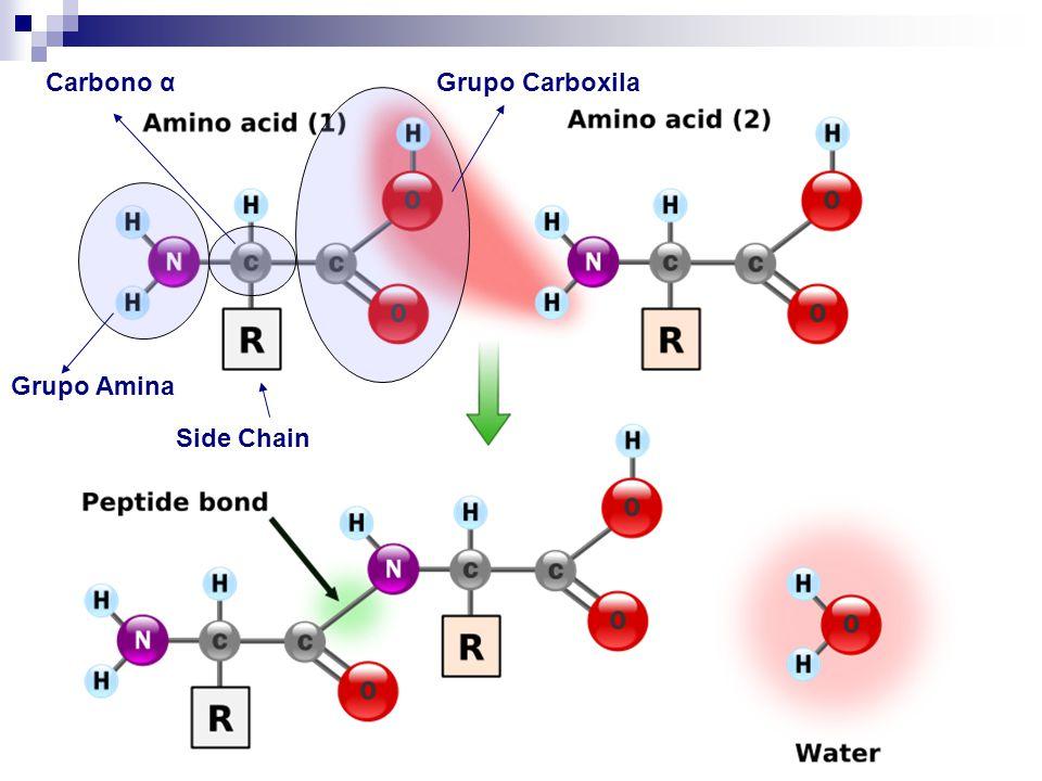 Aminoácidos Há 20 side chains diferentes especificados pelo código genético, cada um com diferentes átomos e propriedades químicas: (hidrofóbico, polar, positively charged, etc) É devido a essas diferenças nas propriedades que existem uma enorme variedade de foldings de proteínas na natureza