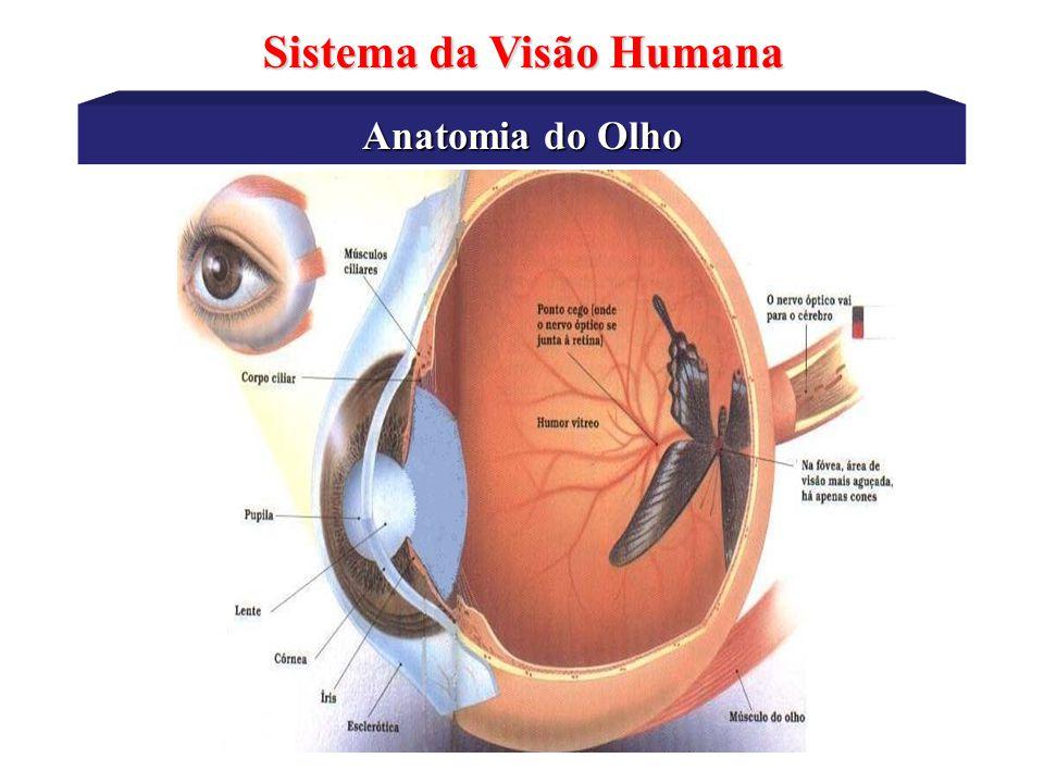 Anatomia do Olho Sistema da Visão Humana Córnea Humor Aquoso Pupila Iris Músculos ciliares Eclerótica Fovea Retina Humor Vítreo Lente Coróide Corpo Ciliar Nervo Óptico