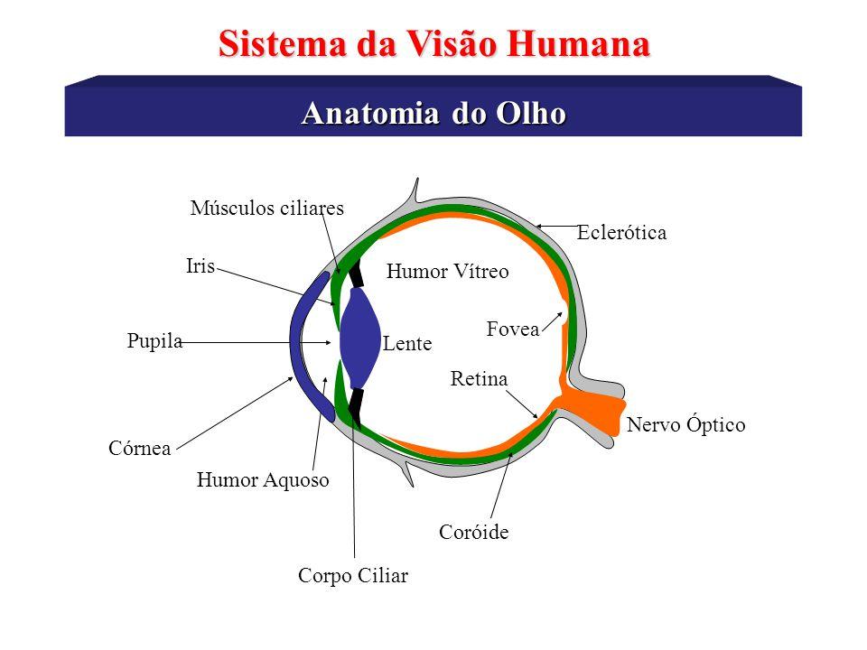 Anatomia do Olho Sistema da Visão Humana Esclerótica - membrana rígida que serve para dar forma ao globo ocular através dos músculos externos (orbital).