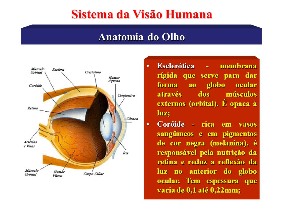 Anatomia do Olho Sistema da Visão Humana Retina - membrana onde estão os fotoreceptores, nela também ocorre o primeiro estágio do processamento das informações visuais;Retina - membrana onde estão os fotoreceptores, nela também ocorre o primeiro estágio do processamento das informações visuais; Córnea – é transparente à luz visível e participa como uma importante lente primária para a formação da imagem retiniana.