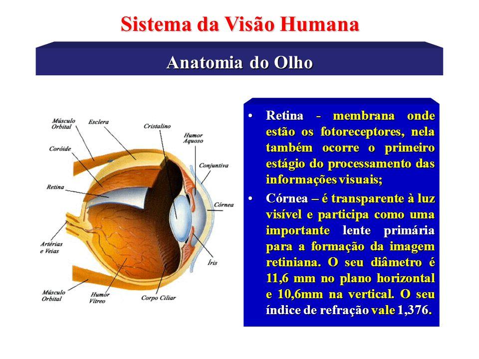 Anatomia do Olho Sistema da Visão Humana Cristalino – divide o olho em dois compartimentos distintos: humor aquoso e humor vítreo.