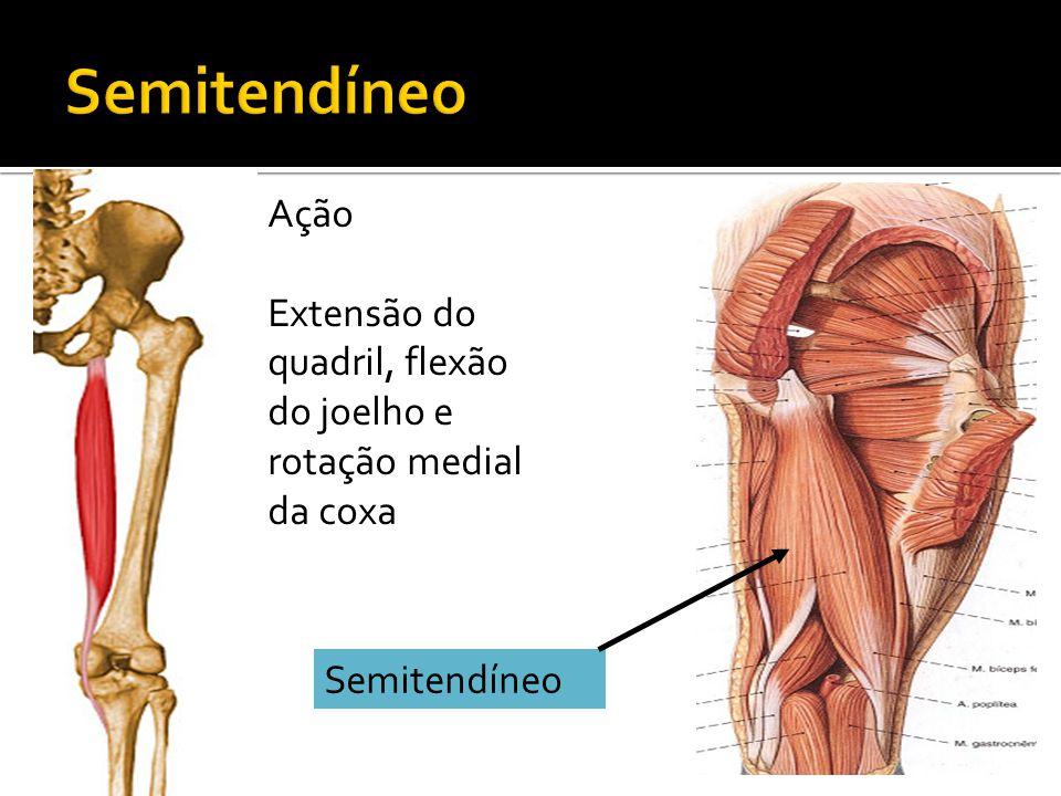 Semitendíneo Ação Extensão do quadril, flexão do joelho e rotação medial da coxa