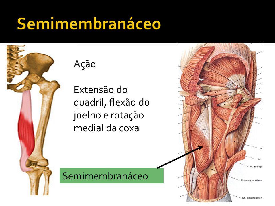 Semimembranáceo Ação Extensão do quadril, flexão do joelho e rotação medial da coxa