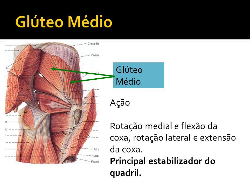 Glúteo Médio Ação Rotação medial e flexão da coxa, rotação lateral e extensão da coxa. Principal estabilizador do quadril.