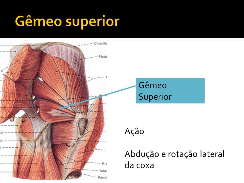Gêmeo Superior Ação Abdução e rotação lateral da coxa