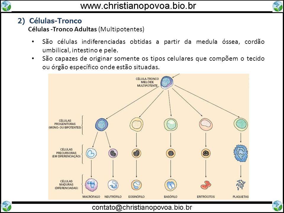 2) Células-Tronco Células -Tronco Adultas (Multipotentes) São células indiferenciadas obtidas a partir da medula óssea, cordão umbilical, intestino e
