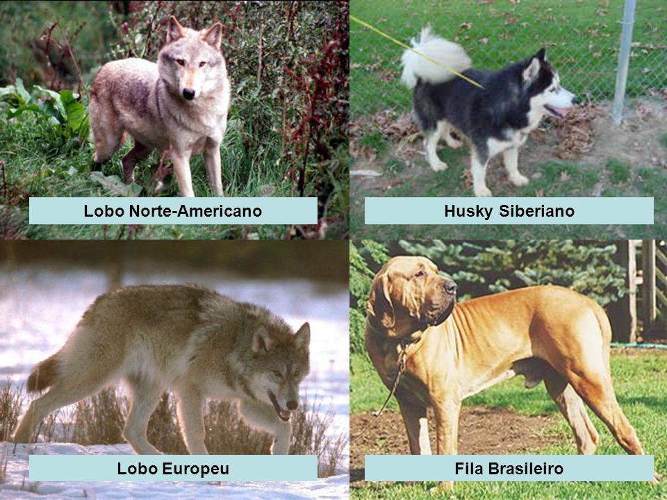 Lobo Norte-AmericanoHusky Siberiano Lobo EuropeuFila Brasileiro