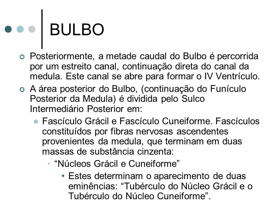 BULBO Posteriormente, a metade caudal do Bulbo é percorrida por um estreito canal, continuação direta do canal da medula. Este canal se abre para form