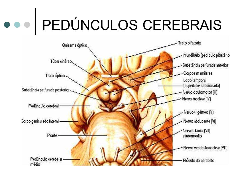 PEDÚNCULOS CEREBRAIS