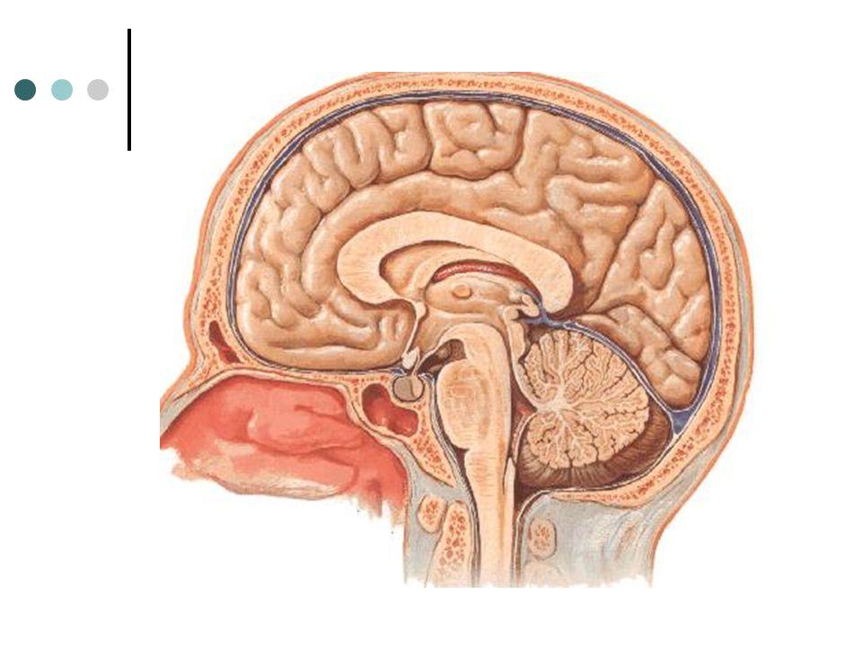 BULBO Bulbo ou Medula Oblonga Sua superfície é percorrida longitudinalmente por sulcos paralelos que continuam com os sulcos da medula.