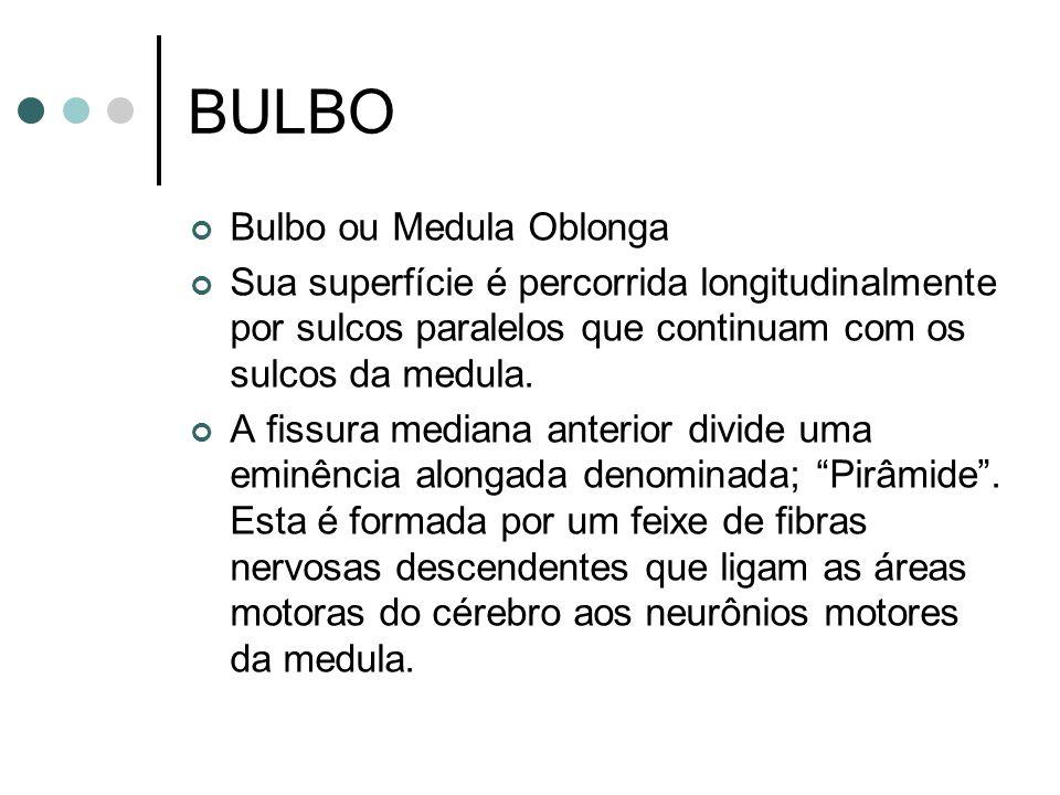 BULBO Bulbo ou Medula Oblonga Sua superfície é percorrida longitudinalmente por sulcos paralelos que continuam com os sulcos da medula. A fissura medi
