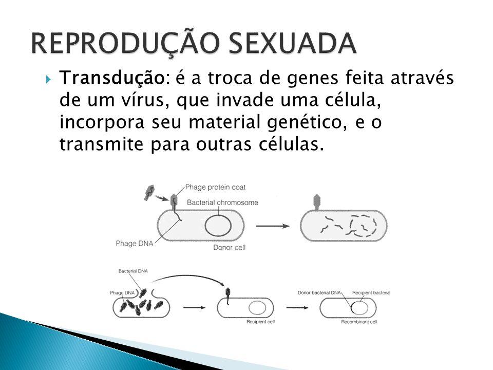 Conjugação: bactéria doadora envia parte do seu DNA para uma receptora. Essa se divide e origina bactérias diferentes.