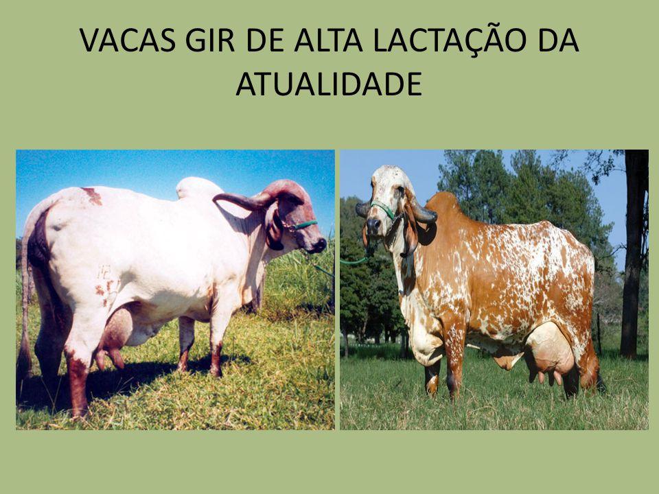 VACAS GIR DE ALTA LACTAÇÃO DA ATUALIDADE