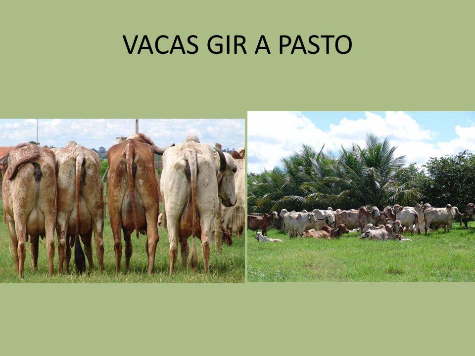 VACAS GIR A PASTO