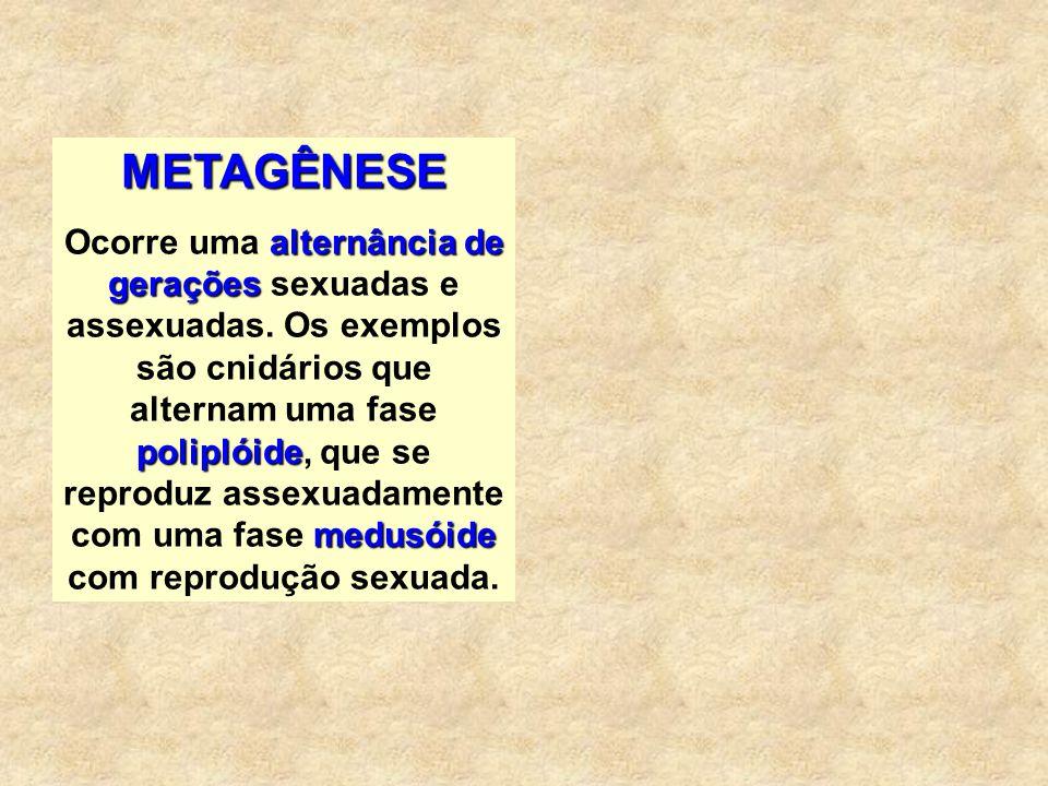 METAGÊNESE alternância de gerações poliplóide medusóide Ocorre uma alternância de gerações sexuadas e assexuadas. Os exemplos são cnidários que altern
