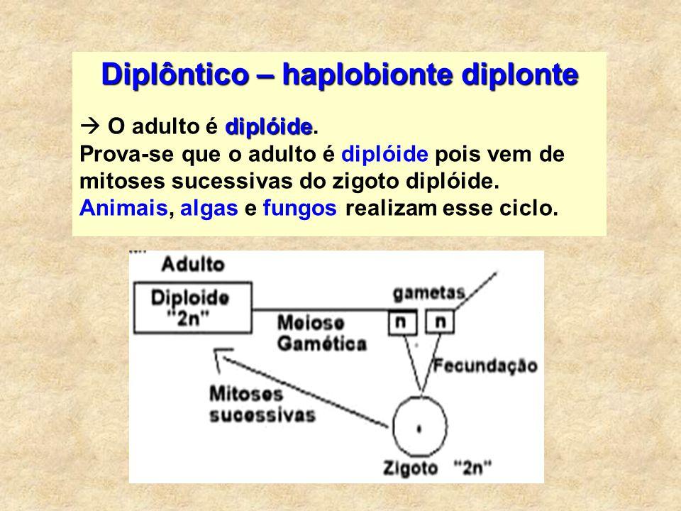 Diplôntico – haplobionte diplonte diplóide O adulto é diplóide. Prova-se que o adulto é diplóide pois vem de mitoses sucessivas do zigoto diplóide. An