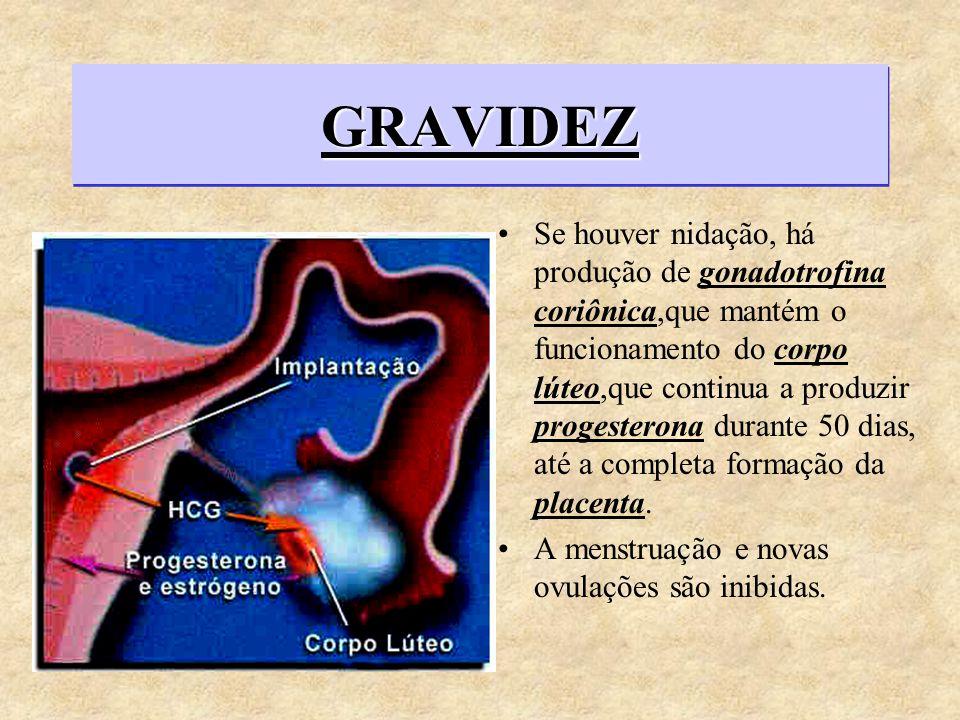 GRAVIDEZGRAVIDEZ Se houver nidação, há produção de gonadotrofina coriônica,que mantém o funcionamento do corpo lúteo,que continua a produzir progester