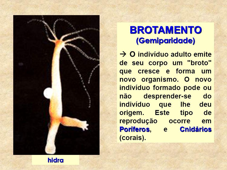 ESTROBILIZAÇÃO Tênias Celenterados éfiras Observada em Tênias e em alguns pólipos de Celenterados, os quais fragmentam o seu pé em numerosos segmentos, chamados éfiras.