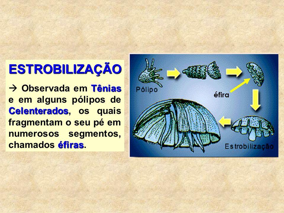 REGENERAÇÃO Planária Alguns animais possuem um extraordinário poder de regeneração.