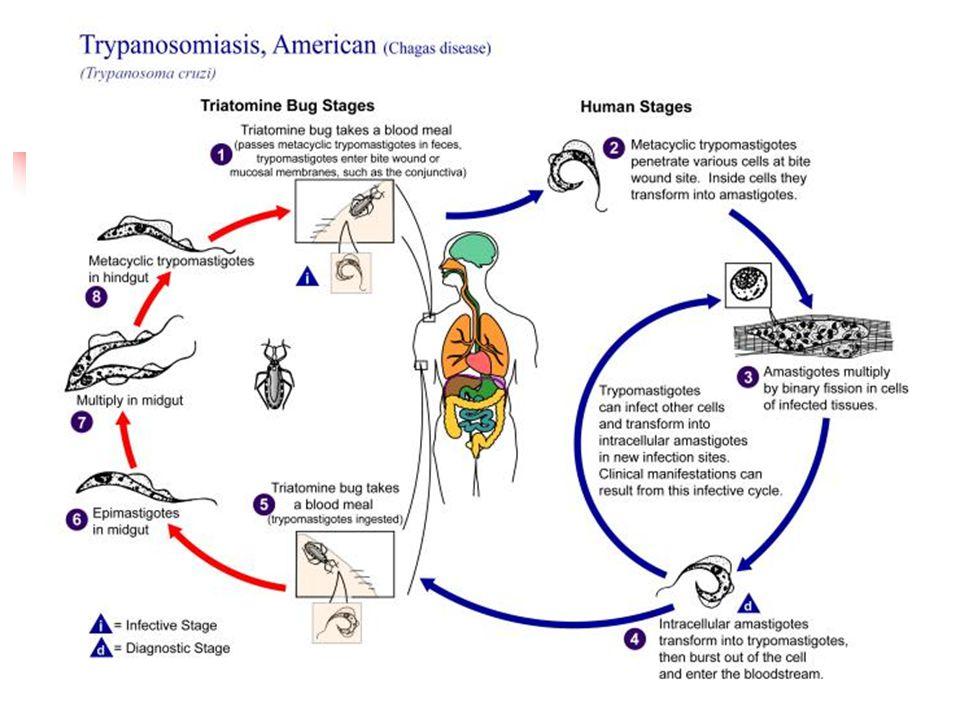 Dra Nadja Ferreira Protozoário- Leshimaniose Vetor – mosquito Phebotomus