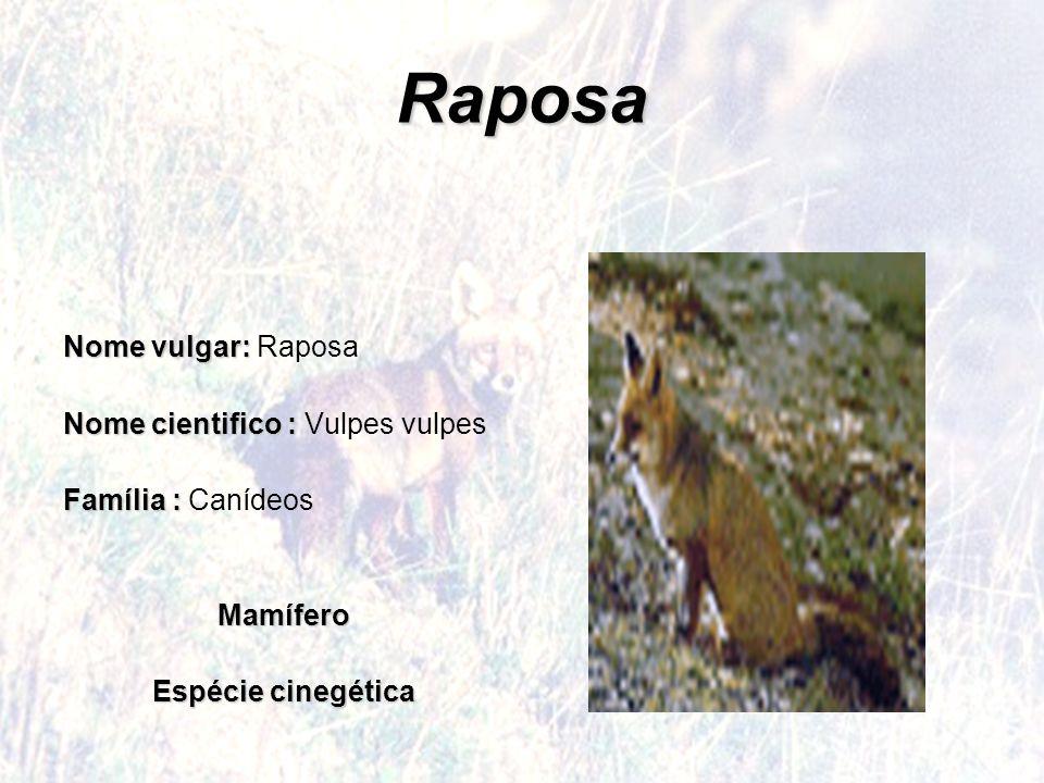 Raposa Nome vulgar: Nome vulgar: Raposa Nome cientifico: Nome cientifico : Vulpes vulpes Família : Família : CanídeosMamífero Espécie cinegética