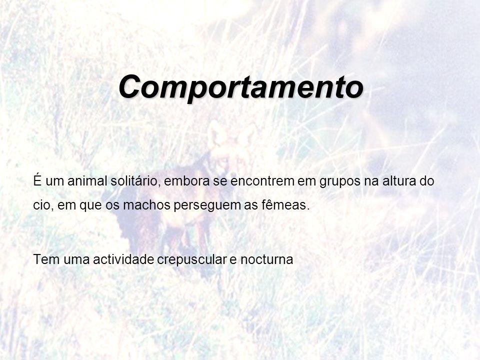 Comportamento É um animal solitário, embora se encontrem em grupos na altura do cio, em que os machos perseguem as fêmeas. Tem uma actividade crepuscu