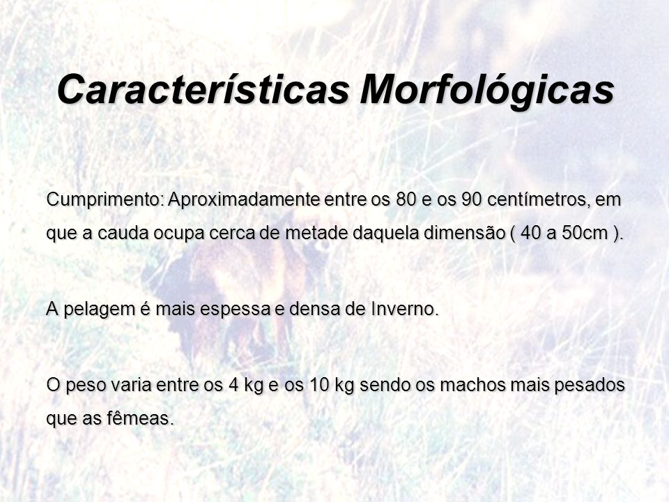 Características Morfológicas Cumprimento: Aproximadamente entre os 80 e os 90 centímetros, em que a cauda ocupa cerca de metade daquela dimensão ( 40