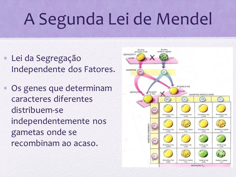 A Segunda Lei de Mendel Lei da Segregação Independente dos Fatores. Os genes que determinam caracteres diferentes distribuem-se independentemente nos
