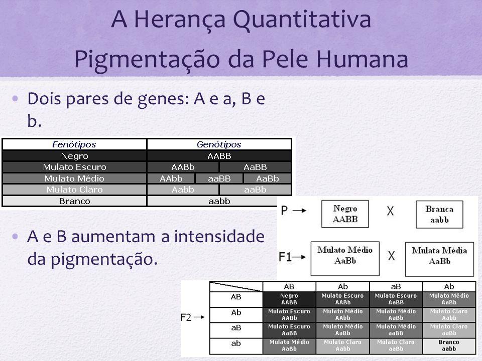 A Herança Quantitativa Pigmentação da Pele Humana Dois pares de genes: A e a, B e b. A e B aumentam a intensidade da pigmentação.