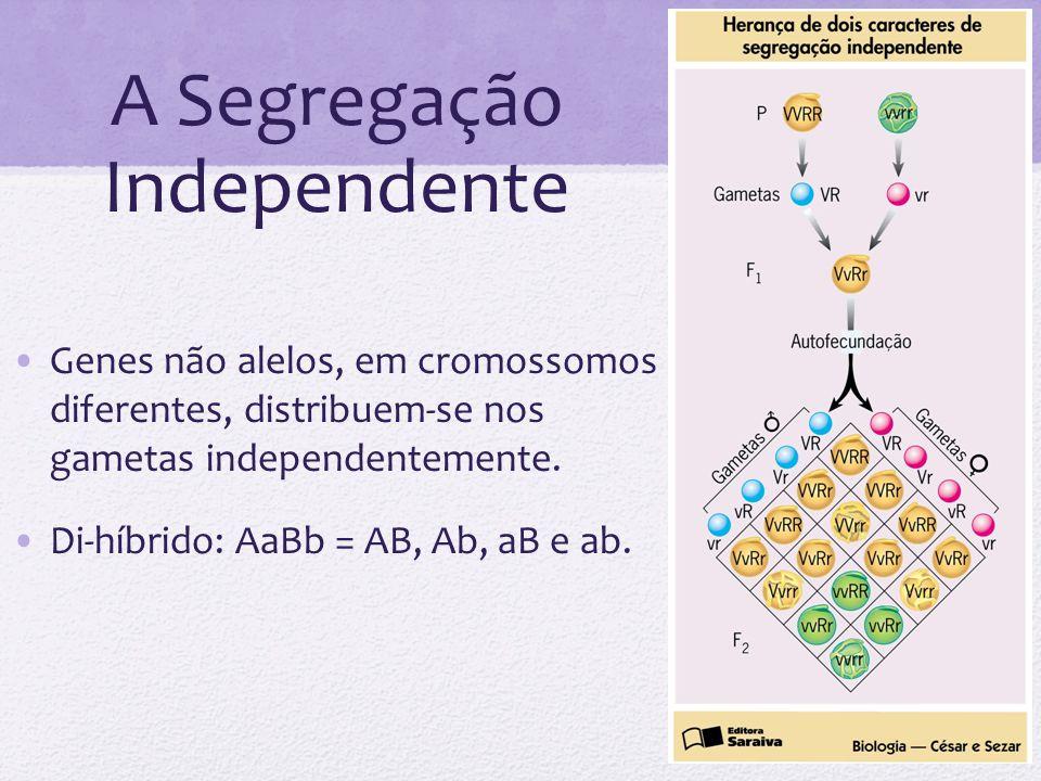 A Segregação Independente Genes não alelos, em cromossomos diferentes, distribuem-se nos gametas independentemente. Di-híbrido: AaBb = AB, Ab, aB e ab