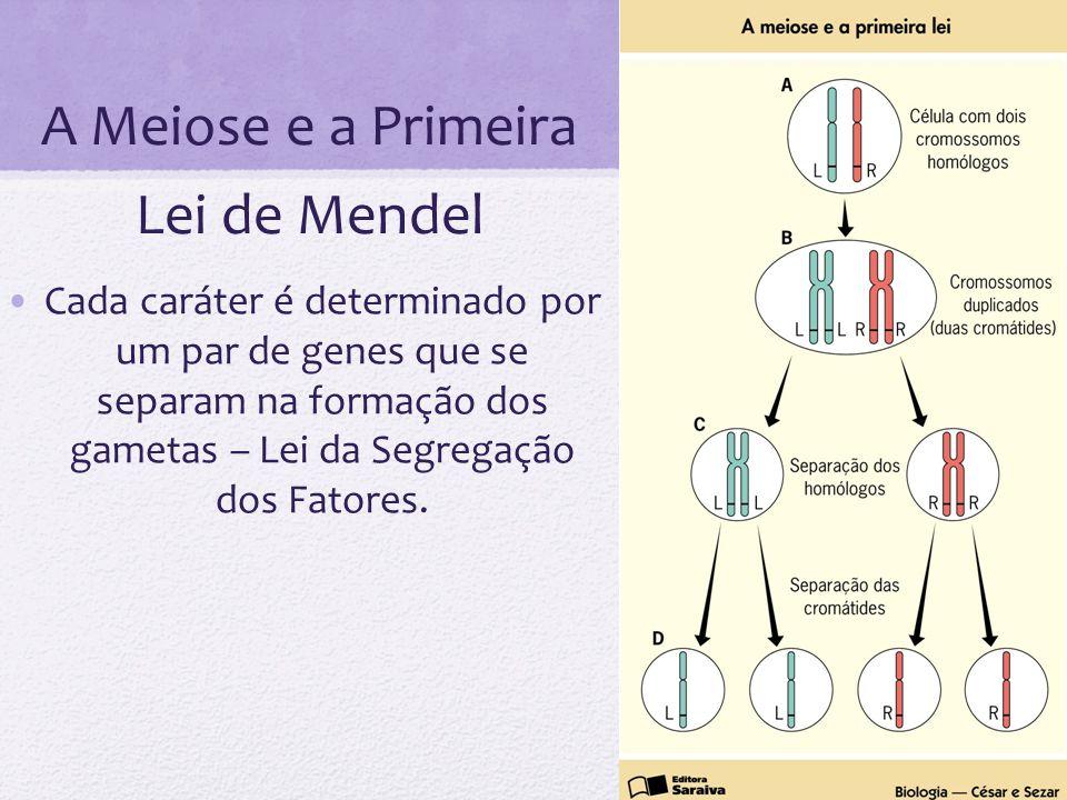 A Meiose e a Primeira Lei de Mendel Cada caráter é determinado por um par de genes que se separam na formação dos gametas – Lei da Segregação dos Fato