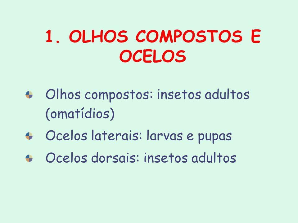 1. OLHOS COMPOSTOS E OCELOS Olhos compostos: insetos adultos (omatídios) Ocelos laterais: larvas e pupas Ocelos dorsais: insetos adultos