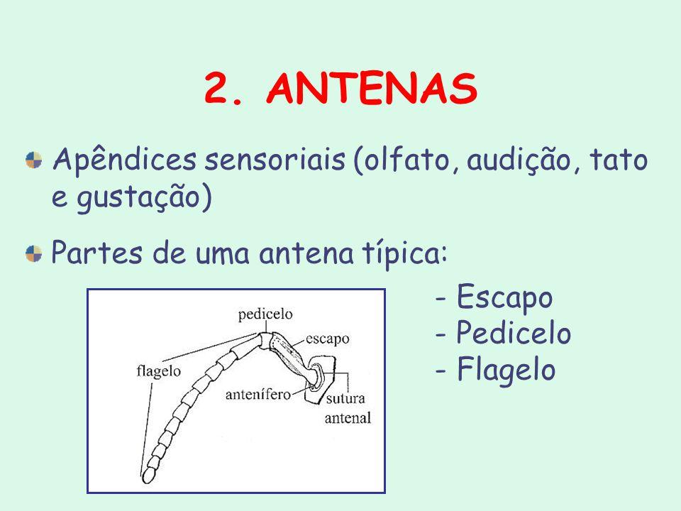 2. ANTENAS Apêndices sensoriais (olfato, audição, tato e gustação) Partes de uma antena típica: - Escapo - Pedicelo - Flagelo