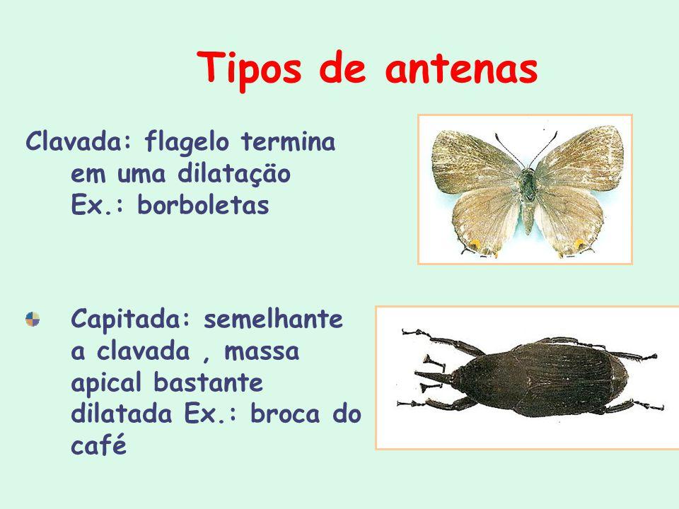 Tipos de antenas Clavada: flagelo termina em uma dilataçäo Ex.: borboletas Capitada: semelhante a clavada, massa apical bastante dilatada Ex.: broca d