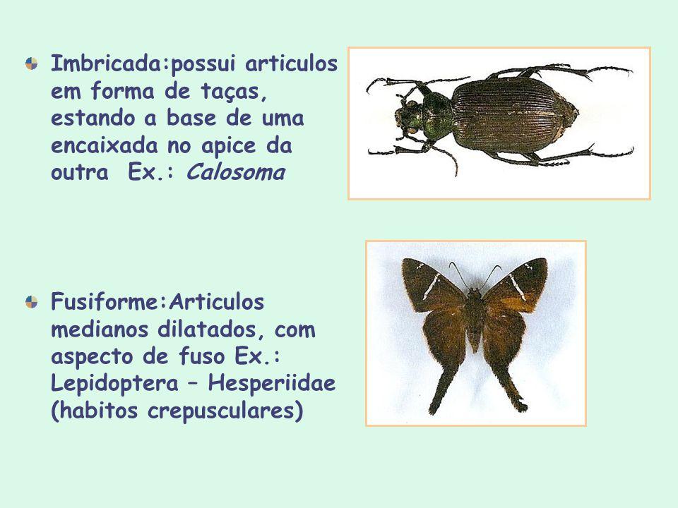 Imbricada:possui articulos em forma de taças, estando a base de uma encaixada no apice da outra Ex.: Calosoma Fusiforme:Articulos medianos dilatados,