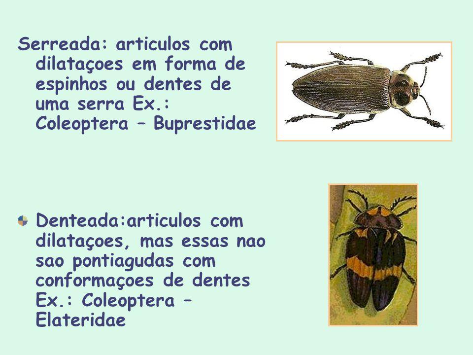Serreada: articulos com dilataçoes em forma de espinhos ou dentes de uma serra Ex.: Coleoptera – Buprestidae Denteada:articulos com dilataçoes, mas es