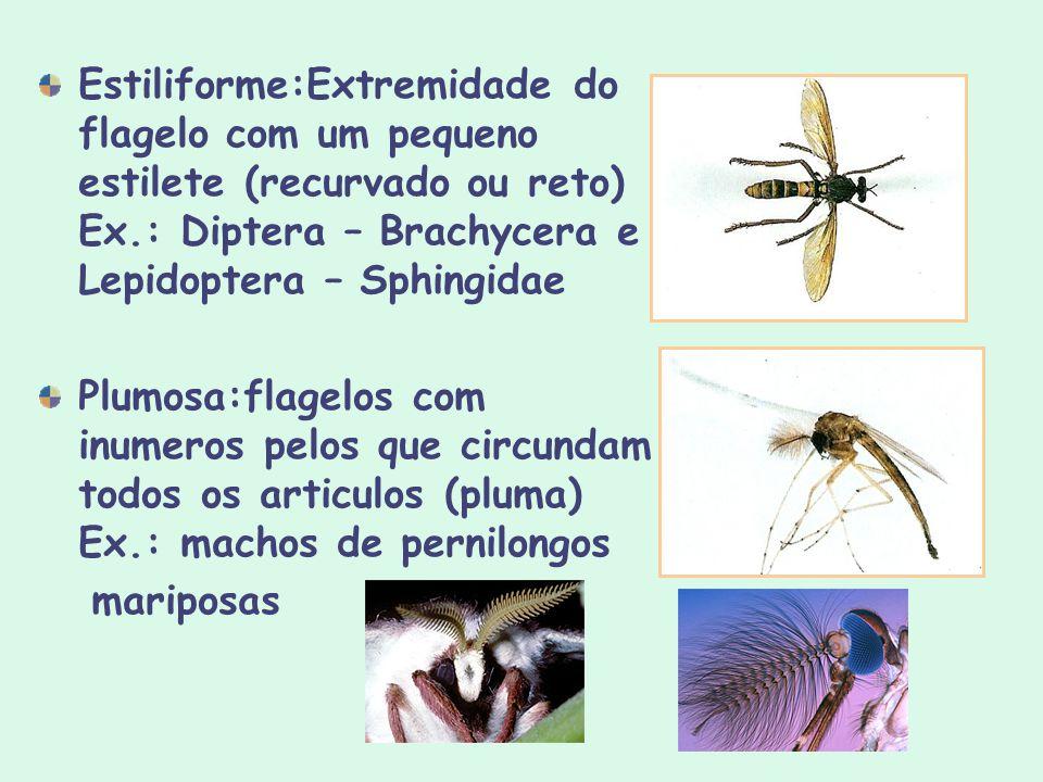 Estiliforme:Extremidade do flagelo com um pequeno estilete (recurvado ou reto) Ex.: Diptera – Brachycera e Lepidoptera – Sphingidae Plumosa:flagelos c