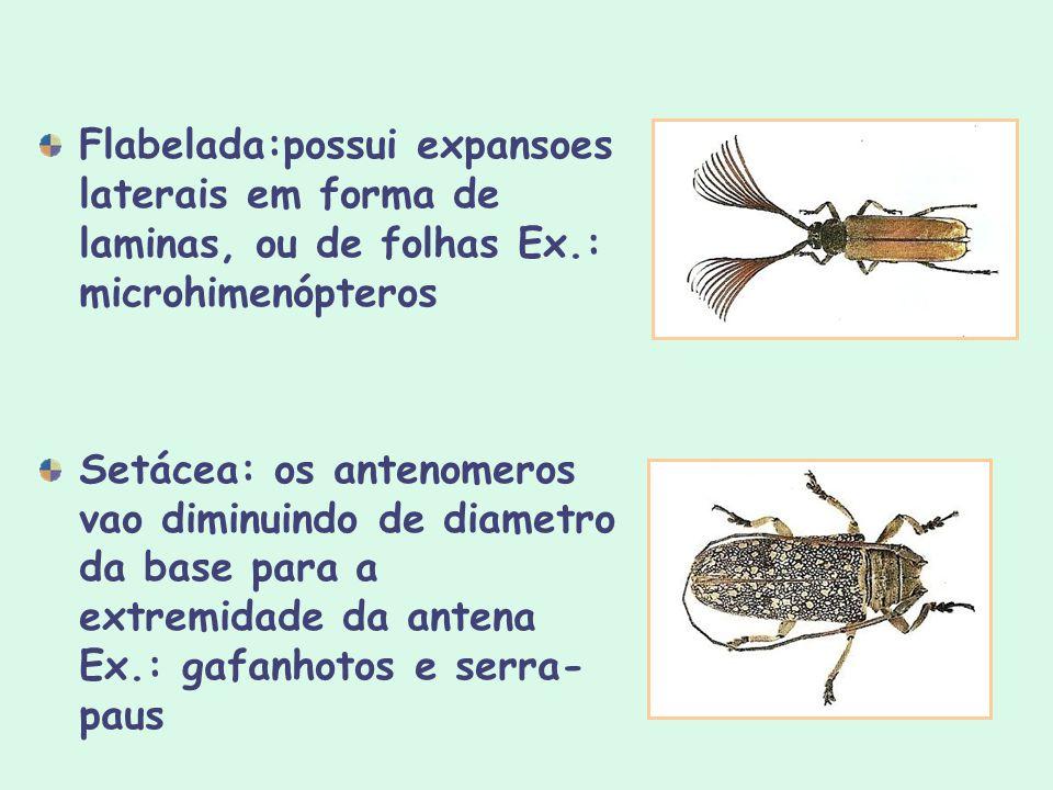 Flabelada:possui expansoes laterais em forma de laminas, ou de folhas Ex.: microhimenópteros Setácea: os antenomeros vao diminuindo de diametro da bas