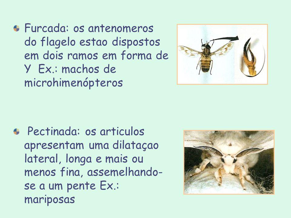 Furcada: os antenomeros do flagelo estao dispostos em dois ramos em forma de Y Ex.: machos de microhimenópteros Pectinada: os articulos apresentam uma