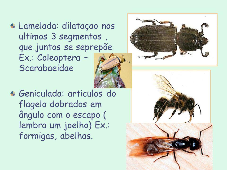 Lamelada: dilataçao nos ultimos 3 segmentos, que juntos se seprepõe Ex.: Coleoptera – Scarabaeidae Geniculada: articulos do flagelo dobrados em ângulo