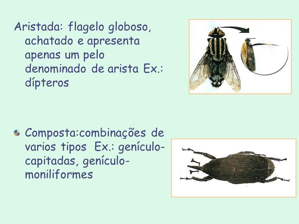 Aristada: flagelo globoso, achatado e apresenta apenas um pelo denominado de arista Ex.: dípteros Composta:combinações de varios tipos Ex.: genículo-