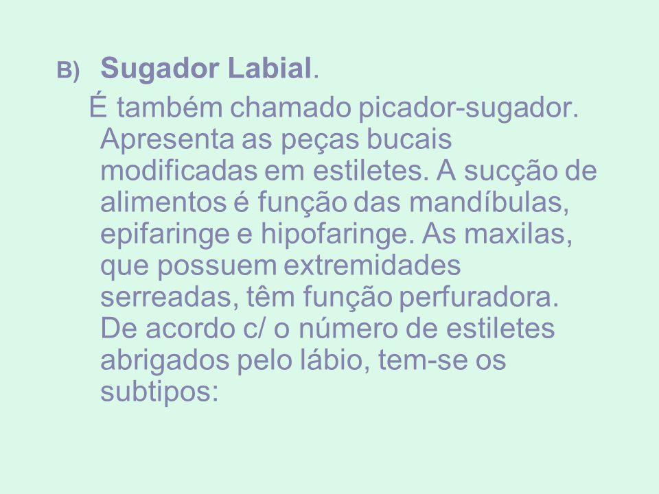 B) Sugador Labial. É também chamado picador-sugador. Apresenta as peças bucais modificadas em estiletes. A sucção de alimentos é função das mandíbulas