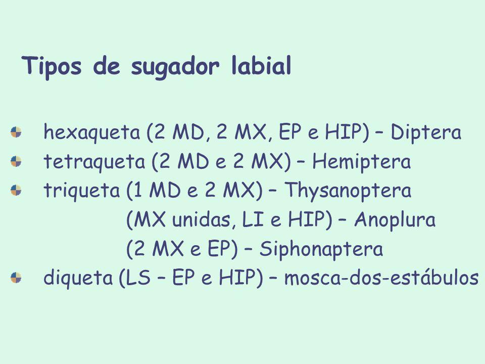 Tipos de sugador labial hexaqueta (2 MD, 2 MX, EP e HIP) – Diptera tetraqueta (2 MD e 2 MX) – Hemiptera triqueta (1 MD e 2 MX) – Thysanoptera (MX unid