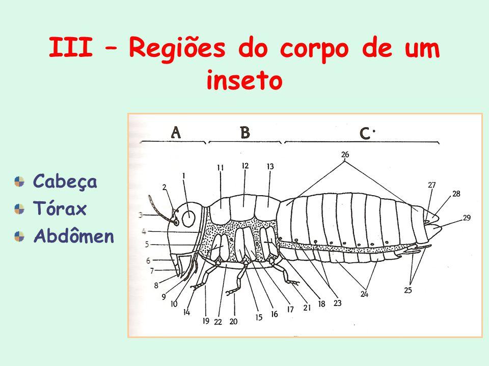 III – Regiões do corpo de um inseto Cabeça Tórax Abdômen