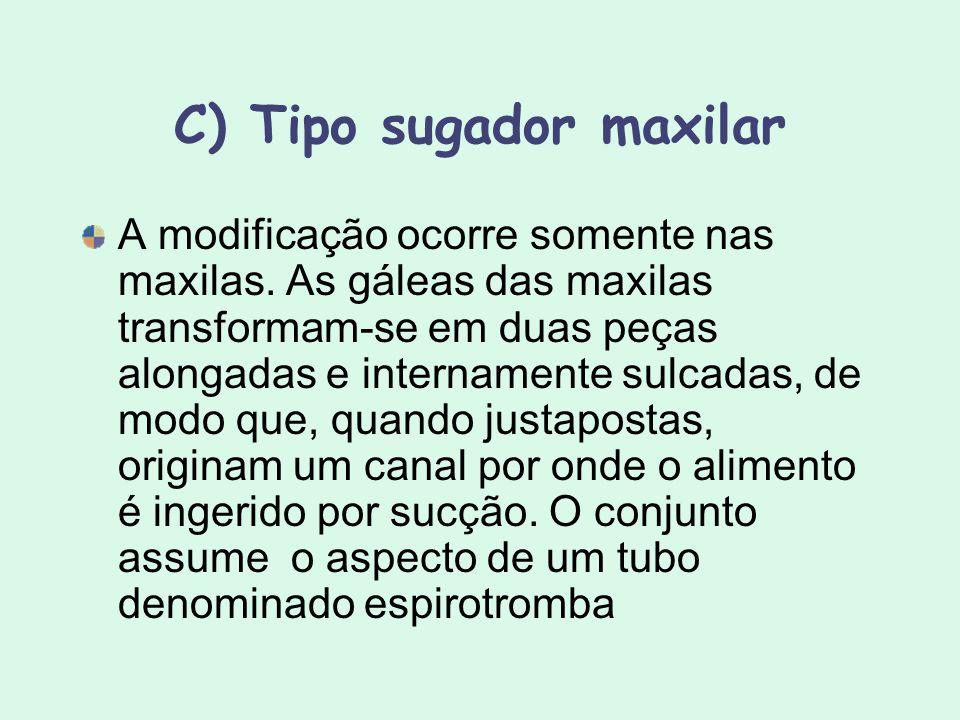 C) Tipo sugador maxilar A modificação ocorre somente nas maxilas. As gáleas das maxilas transformam-se em duas peças alongadas e internamente sulcadas