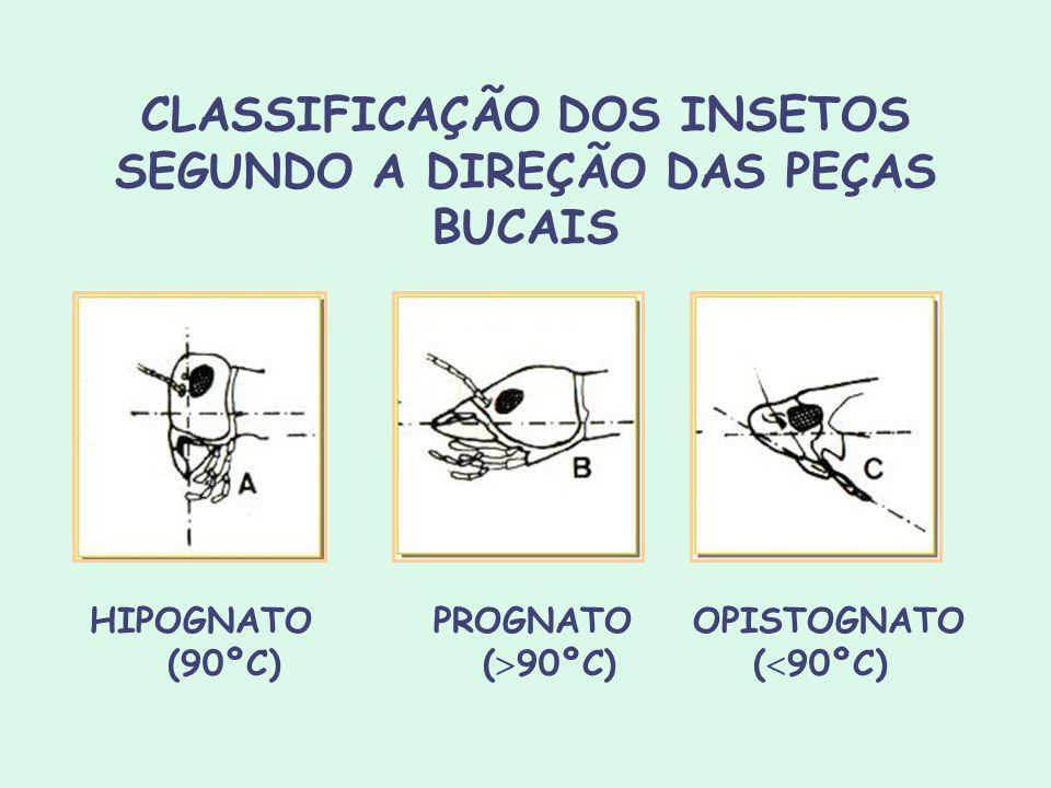 CLASSIFICAÇÃO DOS INSETOS SEGUNDO A DIREÇÃO DAS PEÇAS BUCAIS HIPOGNATO PROGNATO OPISTOGNATO (90ºC)( 90ºC) ( 90ºC)
