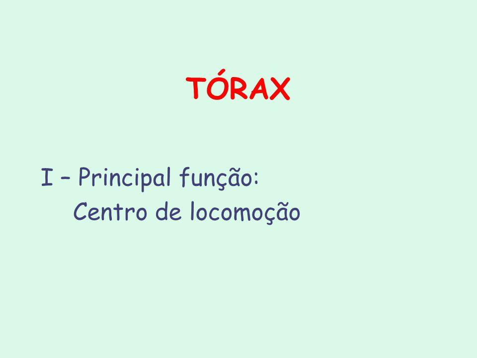 TÓRAX I – Principal função: Centro de locomoção