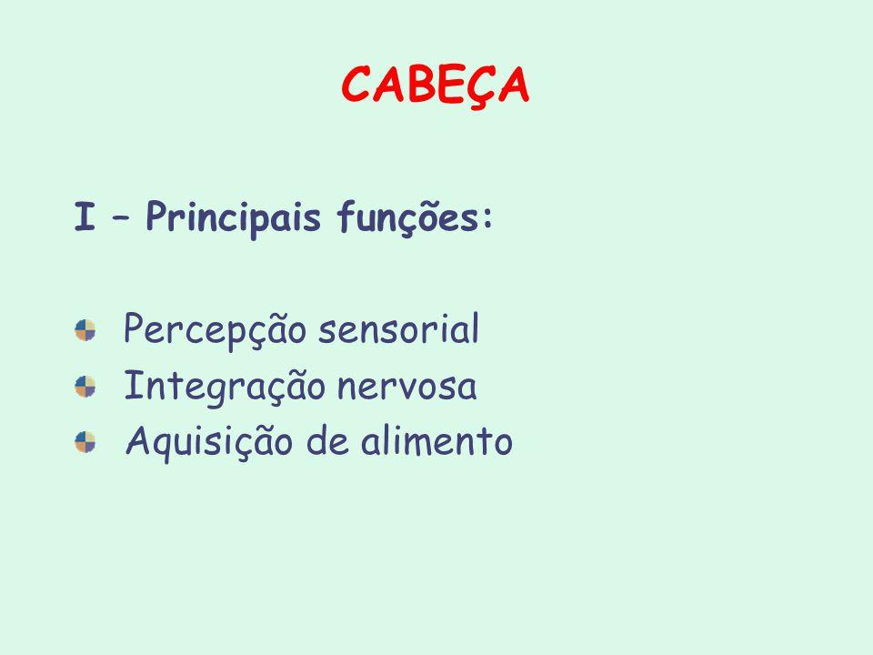 CABEÇA I – Principais funções: Percepção sensorial Integração nervosa Aquisição de alimento