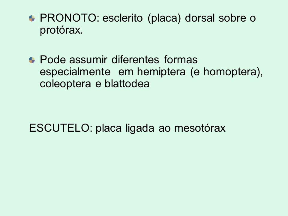 PRONOTO: esclerito (placa) dorsal sobre o protórax. Pode assumir diferentes formas especialmente em hemiptera (e homoptera), coleoptera e blattodea ES